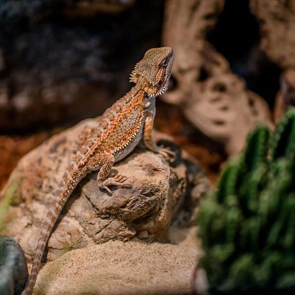 terariu reptile